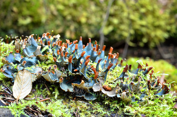 Blue lichen in the forest