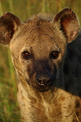 Hyena close up sunrise