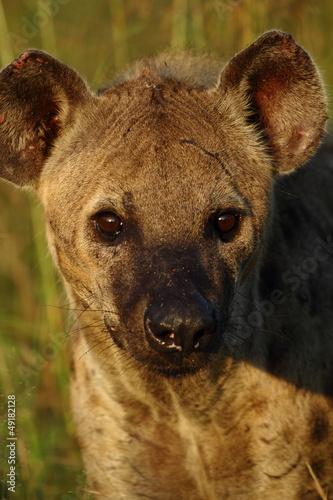 Papiers peints Hyène Hyena close up sunrise