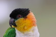 Caique, Black-headed(Pionites melanocephala)