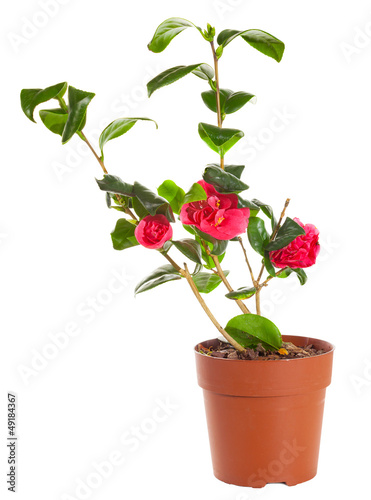Blossoming plant of camellia in flowerpot isolated on white.