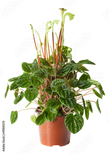 Blossoming plant of peperomia in flowerpot isolated on white.