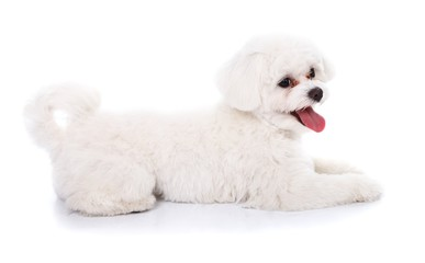 Cute bichon puppy