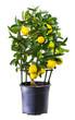 Plant of lemon in flowerpot isolated on white.