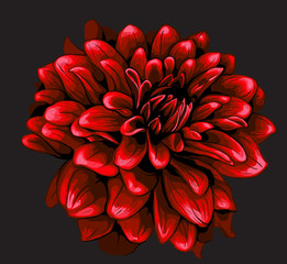 Dahlia illustration