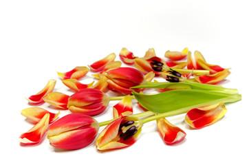 abgeblühte Tulpen