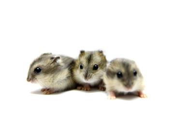 Three Djungarian Hamsters (Phodopus sungorus) babies