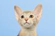 Katzen-Abessinier-0419tasml