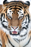 Siberian Tiger Close Up