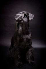 Miniature Schnauzer black on the black background