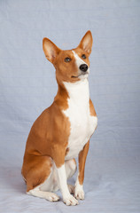 Basenji-dog on the gray background