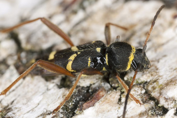 Wasp beetle, Clytus arietis on wood, macro photo
