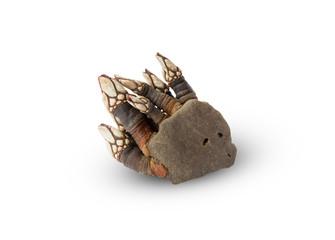 goose barnacles