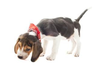 Jazz the beagle