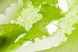 fresh green lettuce salad closeup