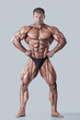 ������, ������: Anatomy of male muscular system anterior view full body