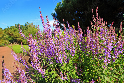Blooming salvia in the garden