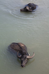 Myanmar, buffalo in the river