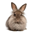 A lying chocolate colored lionhead bunny rabbit