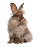 A cute sitting chocolate lionhead bunny rabbit