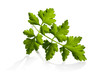 parsley leaves isolated