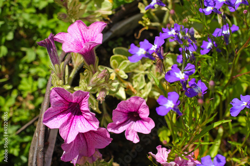 Pink surfinia and blue lobelia