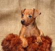 Miniature Pinscher puppy, 2 months 1 week old