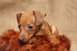 Miniature Pinscher puppy, 2 months 1 week old