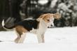 Beaglewelpe mit Schnee im Gesicht
