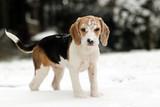 Fototapeta zima - Beagle - Zwierzę domowe