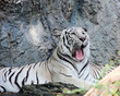 white bengal tiger gaping in a zoo