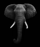 African Elephant isolated - Fine Art prints