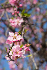 Pink almond flowers