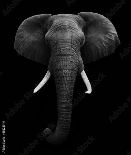 slon-afrykanski-na-bialym-tle