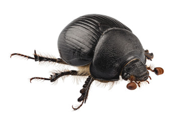 earth-boring dung beetle species Geotrupes stercorarius