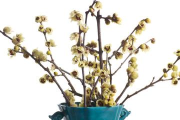 rami fioriti recisi di calicanto
