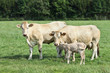 Blonde d'Aquitaine cows and newborn calf in a green meadow