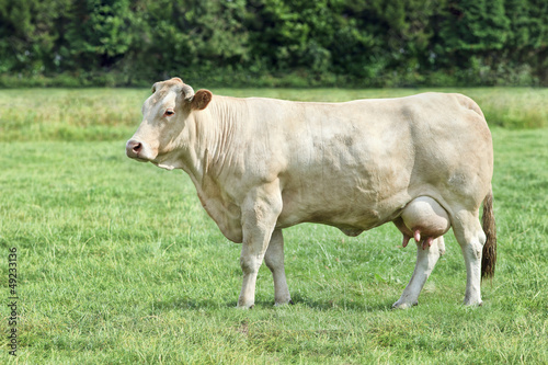 Blonde d'Aquitaine cow in a fresh green meadow