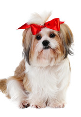 Shih tzu dog in studio