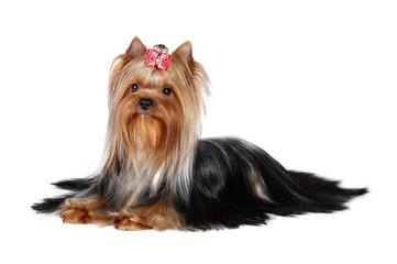 Yorkshire terrier  dog in studio