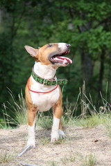 Red and white english bull terrier walking at the field