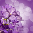 Fototapeten,blume,orchid,vanda,blau