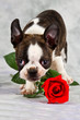 Boston terrier puppy stand