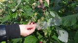 hand gather pick ripe strawberry garden poster