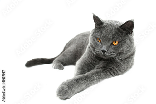 British Shorthair cat, isolated on a white background