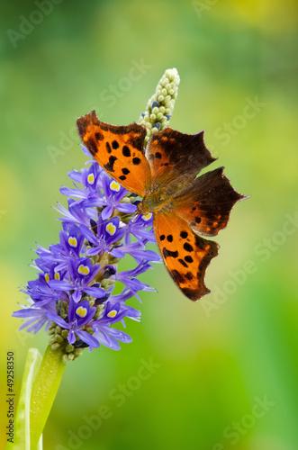 Deurstickers Vlinder Question Mark butterfly on Pickerelweed flower