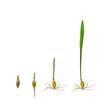 Wachstumprozess eines Getreidekorns