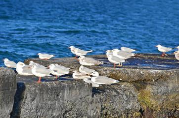 Seagull flock on breakwater in Odessa, Ukraine