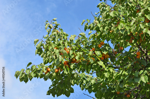Ripe apricot on the branch of the tree