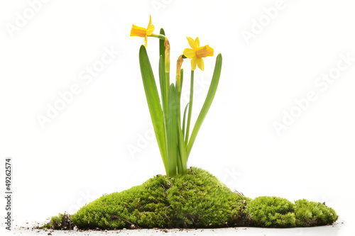 Daffodils with moss